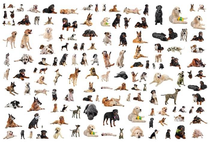 Liste de différentes races de chiens -  - chien, éthologie canine