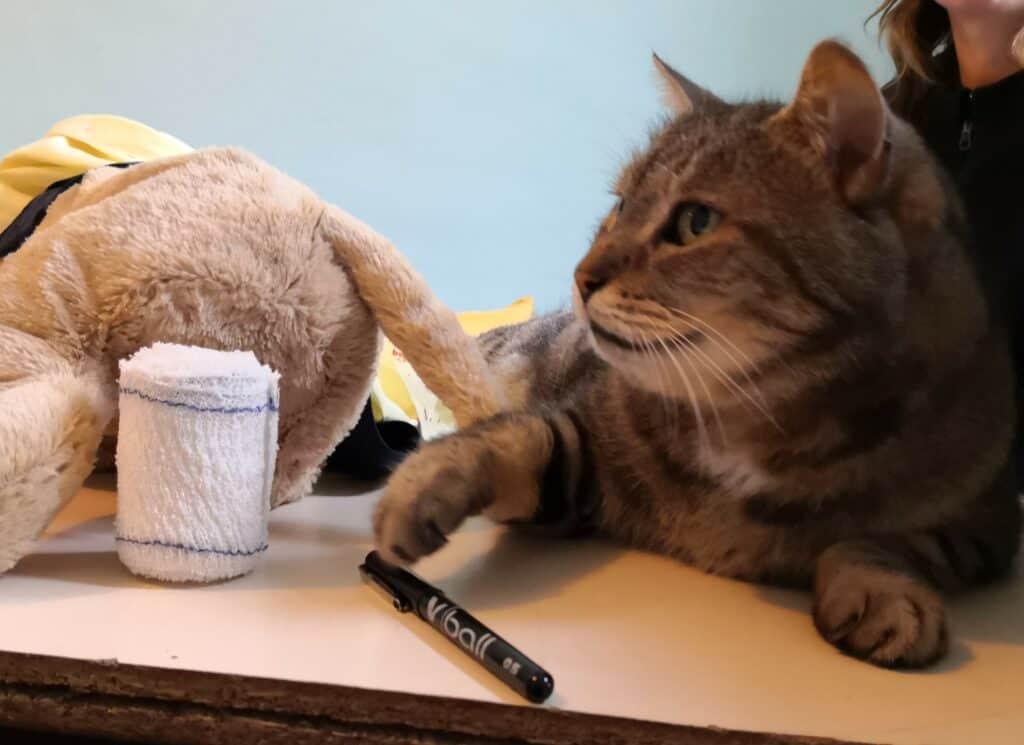 Bandage pour le chat - dresser un chat