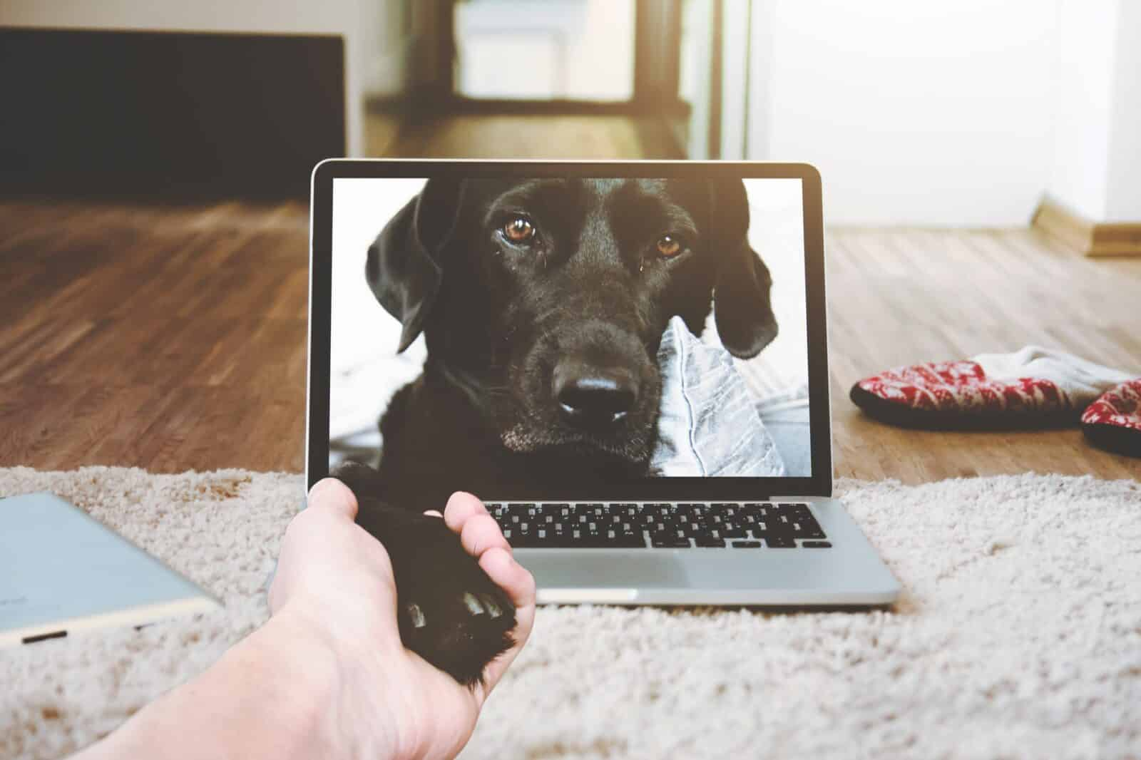 macbook pro displaying black adult labrador retriever